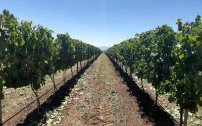 La lluvia de verano que activó las alertas en las viñas